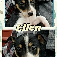 Rat Terrier/Australian Cattle Dog Mix Puppy for adoption in Ringwood, New Jersey - Ellen