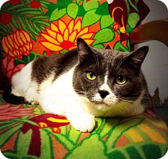 Domestic Shorthair Cat for adoption in Casa Grande, Arizona - BeBe
