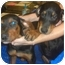 Photo 1 - Doberman Pinscher/Rottweiler Mix Puppy for adoption in Mesa, Arizona - Rotti/Dobie