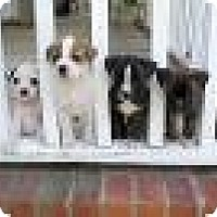 Adopt A Pet :: Laylas Babies! - Marlton, NJ