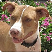 Adopt A Pet :: Cherry Pit - Kingwood, TX