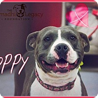 Adopt A Pet :: Poppy - Las Vegas, NV