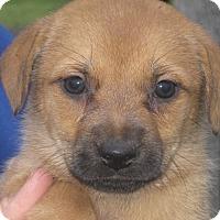 Adopt A Pet :: Akemi - Albany, NY