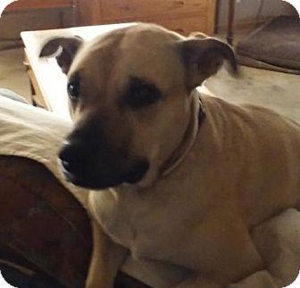 Labrador Retriever Mix Dog for adoption in Surprise, Arizona - Brianna