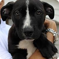 Adopt A Pet :: Apollo - Studio City, CA