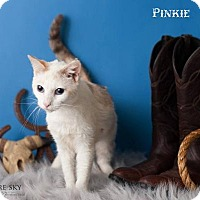 Siamese Cat for adoption in Glendale, Arizona - Pinkie