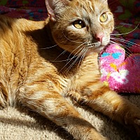 Adopt A Pet :: Butterscotch - Wichita Falls, TX