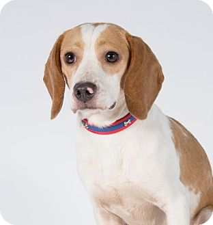 Beagle Dog for adoption in St. Louis Park, Minnesota - Lance