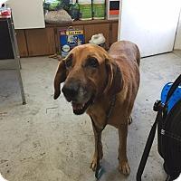 Adopt A Pet :: Wildcat - Lewisburg, TN