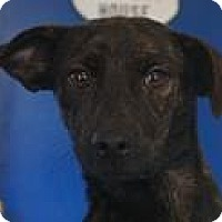 Chihuahua/Beagle Mix Dog for adoption in Media, Pennsylvania - TRUDIE