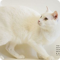 Domestic Shorthair Cat for adoption in Houston, Texas - WINTER
