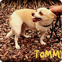 Chihuahua Dog for adoption in Phoenix, Arizona - TOMMY