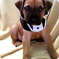 Adopt A Pet :: Jack-O - Detroit, MI