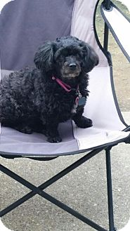 Poodle (Toy or Tea Cup) Dog for adoption in Speedway, Indiana - MISSY