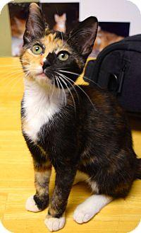 Domestic Shorthair Kitten for adoption in Island Park, New York - Sabrina