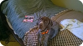 German Shorthaired Pointer Dog for adoption in Warren, Michigan - Dakota