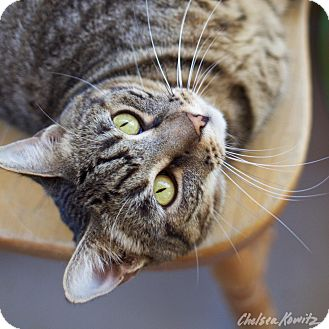 Domestic Shorthair Cat for adoption in Canyon Country, California - Xena