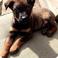 Adopt A Pet :: Jeanine - MCLEAN, VA