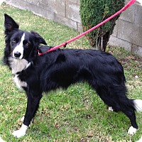 Adopt A Pet :: BLACKY - San Pedro, CA