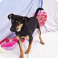 Adopt A Pet :: Dodger - West Chicago, IL