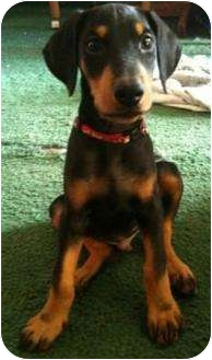 Doberman Pinscher Puppy for adoption in Sun Valley, California - Dexter