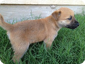 Labrador Retriever/Shepherd (Unknown Type) Mix Puppy for adoption in Arlington, Texas - Ian