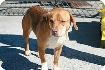 Beagle Mix Dog for adoption in Bedford, Virginia - Holly