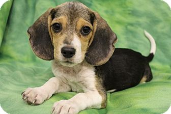 Beagle Puppy for adoption in Wytheville, Virginia - McCoy