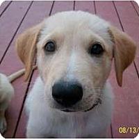 Adopt A Pet :: Lance - Denver, CO
