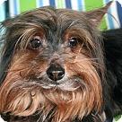 Adopt A Pet :: HENRY YORKIE