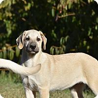 Adopt A Pet :: Brandi - Charlemont, MA