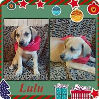 Adopt A Pet :: Lulu meet me 12/4 - Manchester, CT
