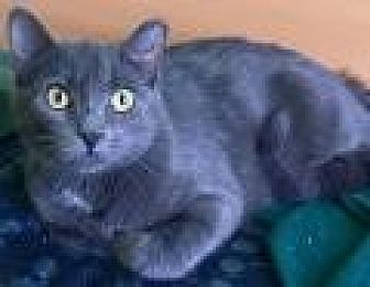 Domestic Shorthair Cat for adoption in Livonia, Michigan - Embry