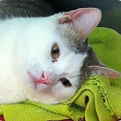 Photo 1 - Domestic Shorthair Cat for adoption in Kansas City, Missouri - Tilt