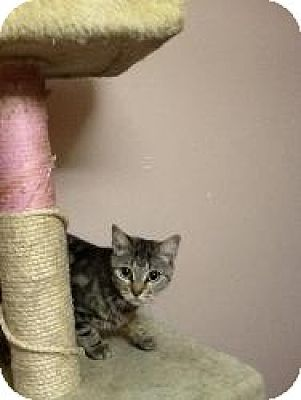 Domestic Shorthair Cat for adoption in bloomfield, New Jersey - Hazel