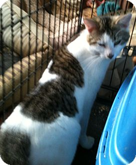 Domestic Shorthair Cat for adoption in Madisonville, Louisiana - Carey