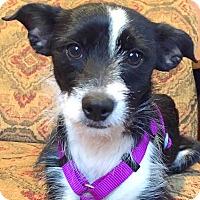 Adopt A Pet :: Dominique-ADOPTION PENDING - Boulder, CO