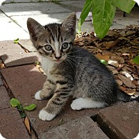 Adopt A Pet :: KITTENS, KITTENS, AND MORE KITTENS - DeLand, FL