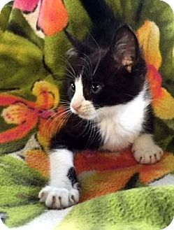 Domestic Shorthair Cat for adoption in Porter, Texas - Bootsie