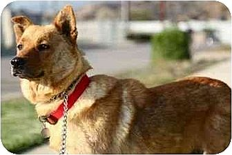 Shiba Inu/Chow Chow Mix Dog for adoption in Sun Valley, California - Ginger