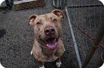 Pit Bull Terrier/German Shepherd Dog Mix Dog for adoption in Atlanta, Georgia - Jericho