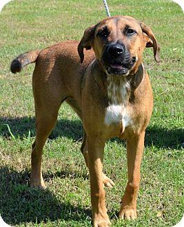German Shepherd Dog/Labrador Retriever Mix Puppy for adoption in Brunswick, Maine - Maggie May