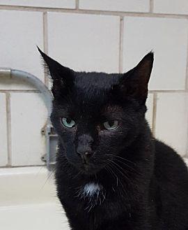 Domestic Shorthair Cat for adoption in Lago Vista, Texas - Jellybean