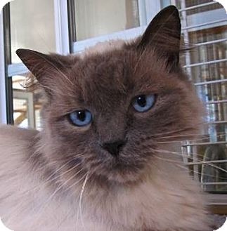 Ragdoll Cat for adoption in Davis, California - Precious