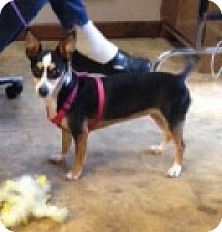 Rat Terrier Mix Dog for adoption in Mt. Laurel, New Jersey - Inu