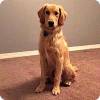 Golden Retriever Dog for adoption in Glendale, Arizona - Barnie (PLACED) Adoption_Pending