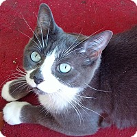 Domestic Shorthair Cat for adoption in Toronto, Ontario - Violet