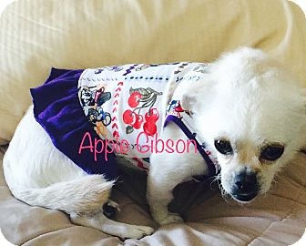 Chihuahua/Pekingese Mix Dog for adoption in SO CALIF, California - APPLE GIBSON
