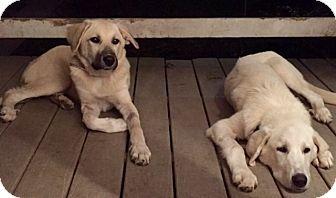 Great Pyrenees/Anatolian Shepherd Mix Dog for adoption in Frederick, Maryland - Petey Pan