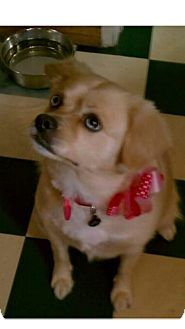 Cavalier King Charles Spaniel Mix Dog for adoption in Whittier, California - Zoe